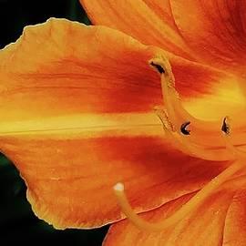 Bruce Bley - Summer Daylily