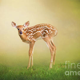 Sharon McConnell - Summer Fawn