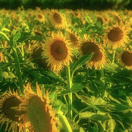 Summer Field Of Sunflowers - Garry Gay
