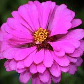 Summer Pink Zinnia by Cynthia Guinn