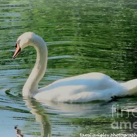 Tami Quigley - Summer Swan