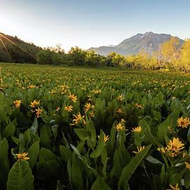 Johnny Adolphson - Summer wildflowers on Squaw Peak.