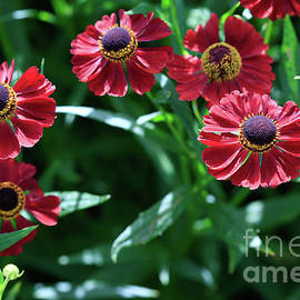 Tracy Hall - Summertime Heleniums