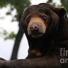 Gary Gingrich Galleries - Sun Bear-7732