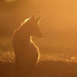 Roeselien Raimond - Sun Gazing Fox