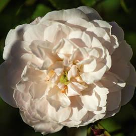 Tania Read - Sun Kissed Pink Rose