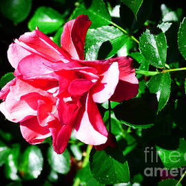 Trudee Hunter - Sun-kissed Rose.