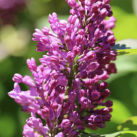 Carol Groenen - Sun Worshipping Lilacs