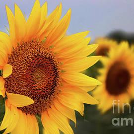 Gary Gingrich Galleries - Sunflower-6096