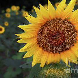 Sunflower-6145 by Gary Gingrich Galleries