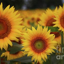 Gary Gingrich Galleries - Sunflower-6214