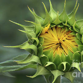 Sunflower-6298 by Gary Gingrich Galleries