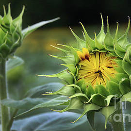 Gary Gingrich Galleries - Sunflower-6307