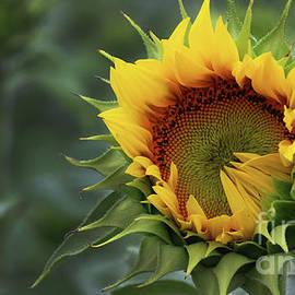 Sunflower-6328 by Gary Gingrich Galleries