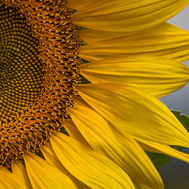 Sunflower Abstract by Dale Kincaid