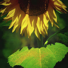 Brooks Garten Hauschild - Sunflower and Gold Leaf - Beauty in the Garden - Floral Photography
