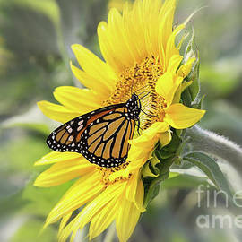 Sunflower And Monarch Butterfly by Sharon McConnell