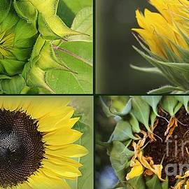 Dora Sofia Caputo Photographic Design and Fine Art - Sunflower Beauty- From Beginning To End