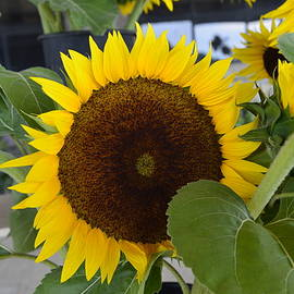 Sunflower by Bill Hosford