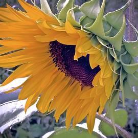 Alida Haslett - Sunflower Blazing