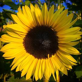 Sunflower  by Brian Eberly