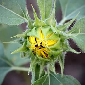 Cynthia Guinn - Sunflower Bud