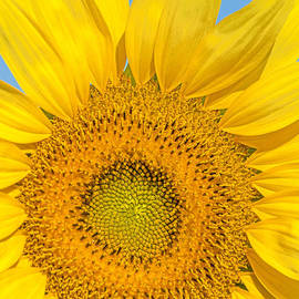 Sunflower Circles by Regina Geoghan