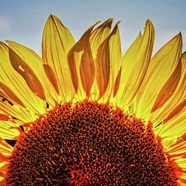 Roger Passman - Sunflower Detail No. 2