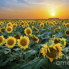Inge Johnsson - Sunflower Field - July