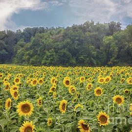 Sharon McConnell - Sunflower Field