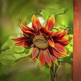 Leif Sohlman - Sunflower #g5