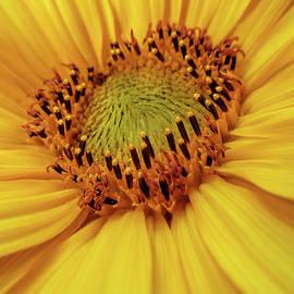 Valerie Anne Kelly - Sunflower heart