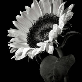 Sunflower in Black and White by Endre Balogh