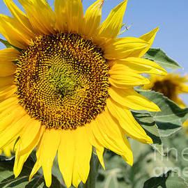 Sunflower by Jeff Swan