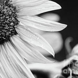 Sunflower Love - BW by Scott Pellegrin