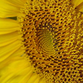 Aaron Rushin - Sunflower Macro