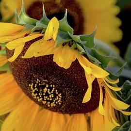 Karen Majkrzak - Sunflower Macro