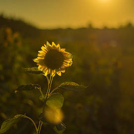 Sunflower Patch Sillhouette by Alissa Beth Photography