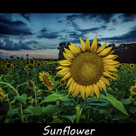 Sunflower by Pete Federico