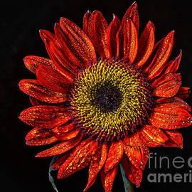 Mitch Shindelbower - Sunflower Portrait