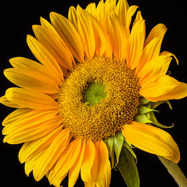 Sunflower Study - Garry Gay