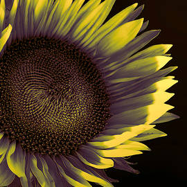 Sunflower Dawn by William Dey