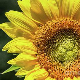 Tom Gari Gallery-Three-Photography - Sunflower