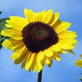 Vesna Martinjak -  Sunflower