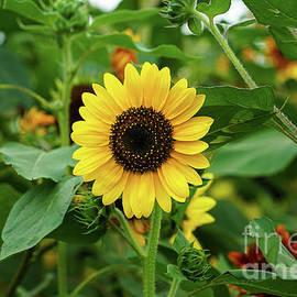 Sunflower Wonder by Rachel Cohen