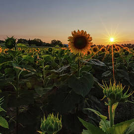 Sunflowers 1 by Heather Kenward