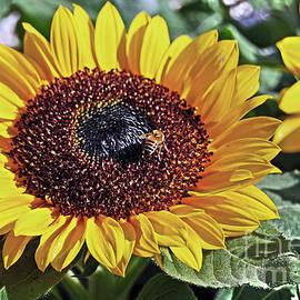 Sunflowers And Honeybee by Carlos Alkmin