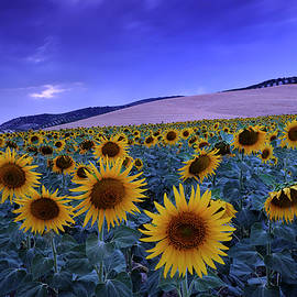 Guido Montanes Castillo - Sunflowers at blue hour