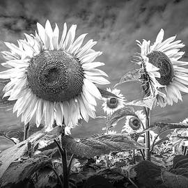 Randall Nyhof - Sunflowers Blooming in Black and White