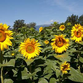 Sunflowers, France by Aivar Mikko